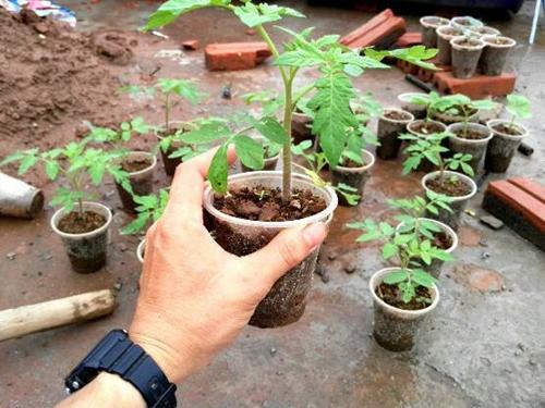 Theo anh Sáng, cây cà chua dễ trồng, là thực phẩm phổ biến trong bữa ăn gia đình.