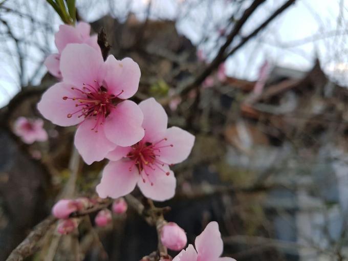 Tại Fansipan, du khách còn có dịp chiêm ngưỡng vẻ đẹp của nhiều loại hoa đào khác nhau.
