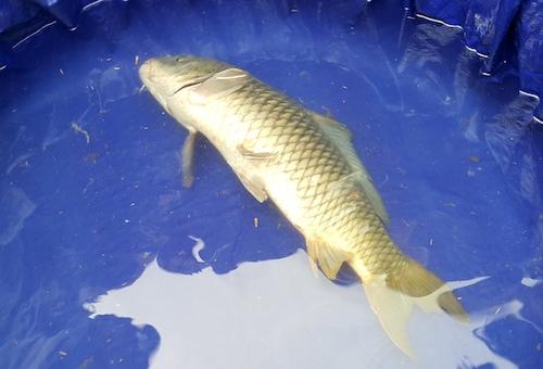 Con cá có dấu hiệu bị kiệt sức khi được nhốt tại hố nước quây bạt. Ảnh:Nguyễn Hải.