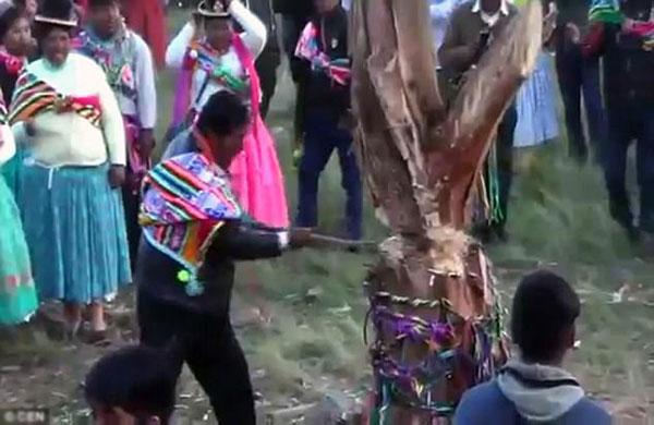 Những nhát rìu cuối trước khi chiếc cây đổ xuống ở lễ hội Yunza.