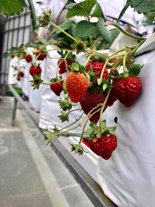 Chị Phương cho biết dâu Tây ưa lạnh nên thường được trồng vào mùa đông và từ lúc ra hoa tới khi thu hoạch mất khoảng 1,5-2 tháng.
