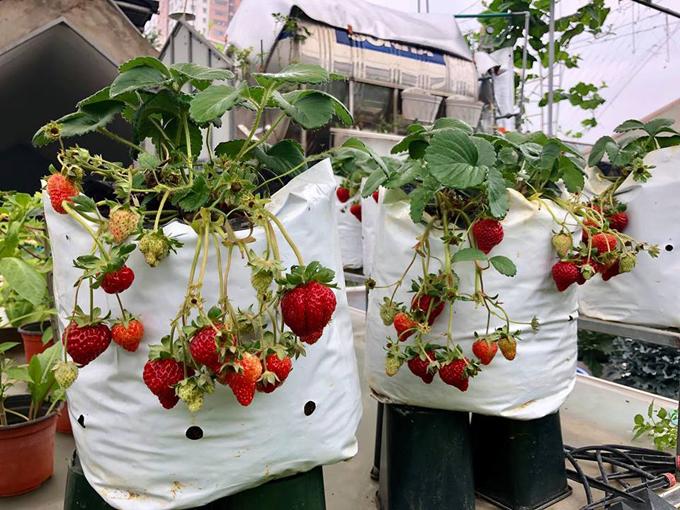 Khu vườn trên sân thượng ngôi nhà rộng 100 m2 của gia đình chị Phương giống như một nông trại thu nhỏ với đủ loại rau, trái và hoa. Sau mấy ngày Tết bận không lên thăm vườn, chị Phương thích thú khi trông thấy 10 bịch dâu tây với 20 gốc chi chít quả chín đỏ.