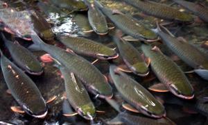 Du khách đầu năm thăm đàn cá 'thần' ở Thanh Hóa