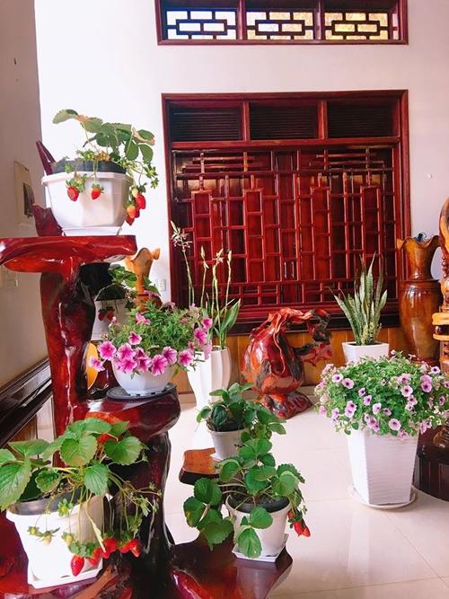 Phòng khách của gia đình chị còn có hoa phong lan, cây lưỡi hổ, dâu tây.