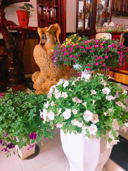Mỗi lứa hoa chơi được khoảng 5-7 tháng nên chị Dung chuyển vàichậu vào nhà trưng Tết.