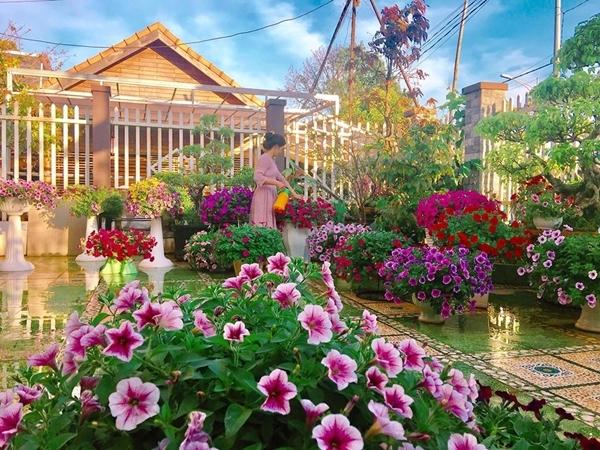 Muốn vườn hoa nở đồng loạt đúng dịp Tết Nguyên Đán nên chị Bích Dung dành nhiều công sức chăm bón. Đều đặn mỗi ngày, chị tưới nước cho các khóm hoa, cắt bỏ hoa tàn và lá úa dưới chân gốc. Bảy ngày một lần, vườn hoa nhà chị Dung được tưới phân NPK pha theo công thức 200g + 16 lít nước lã.
