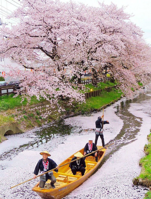 Lịch sự báo hoa anh đào nở ở Hàn Quốc và Nhật Bản năm nay