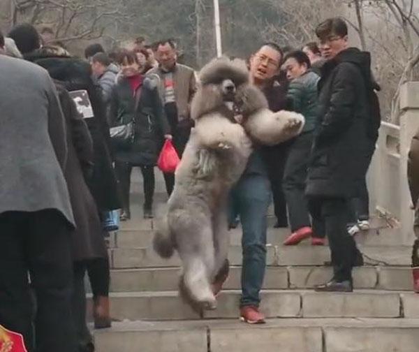 Con chó to bằng người lười đi, chủ phải chật vật bế xuống núi