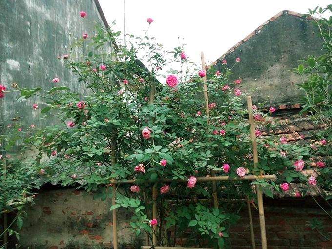 Theo Sang, trồng hoa hồng quan trọng nhất làgiá thể. Giá thể phải sạch, nhiềudinh dưỡng vàquan trọng làthoát nướctốt. Có như vậy, rễ cây mới pháttriển tốt để lấy dinh dưỡngnuôi cây vàtránh được những bệnh sau này cho hoa.