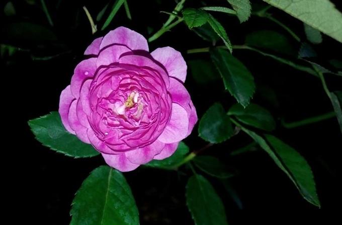 Sang bắt đầu gây dựng vườn hồng với cây hồng quế được biếu. Tuy nhiên do bị đứt nhiều rễ cái và vỡ bầu, Sang lại chưa có nhiều hiểu biết về hoa nên cây chết không lâu sau đó.Tôi buồn và tiếcsuốt một thời gian dài. Từ đó, tôi dành nhiều thời gian tìm hiểu, tham gia các nhóm về hoa hồng để học hỏi mọi người, quyết tâm theo đuổi đam mê, Sang nói.