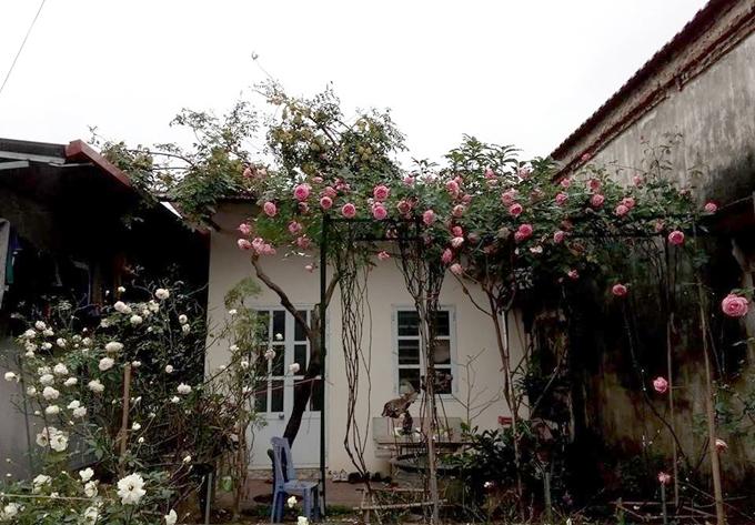 Cách đây ba năm, Sang bắt đầu trồng hoa hồng trong vườn nhà rộng 70 m2 ở huyện Yên Mỹ. Ngày còn nhỏ, Sang luôn ao ước được sống trong ngôi nhà đầy hoa hồng như khung cảnh trong truyện cổ tích. Ba năm sau, anh thỏa ước nguyện với khu vườn có gần 20 loại hồng khác nhau.