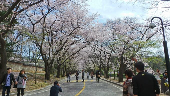 Điểm ngắm hoa anh đào không đông người ở Hàn Quốc