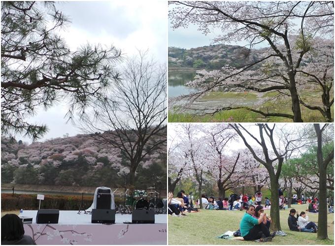 Điểm ngắm hoa anh đào không đông người ở Hàn Quốc - 1