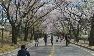 Điểm ngắm hoa anh đào đẹp mà không đông người ở Hàn Quốc