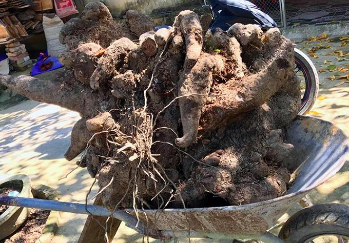 Củ khoai vạc nặng 110kg mà anh Đường đào được. Ảnh: H.L