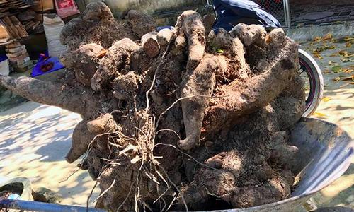 Nông dân Hà Tĩnh đào được củ khoai vạc 110 kg