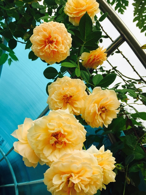 Con gái lớn của chị Lệ Hằng 10 tuổi, được thừa hưởng tình yêu hoa từ mẹ nên rất chịu khó chăm cây. Những ngày trời đẹp, hai mẹ con thường đi dạo trong khu vườn, hào hứng chụp ảnh bên những nụ hồng mới nở.