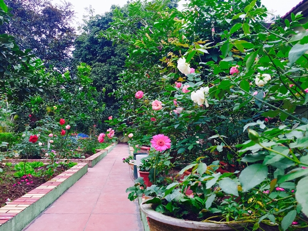 Khu vườn của chị Hằng là nơi tề tựu của nhiều giống hồng ngoại và hồng nội. Những khóm hồng được trồng trong ô đất vuông đã kè gạch, bámdọc theo lối đi.