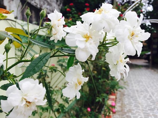 Từ ngày có vườn hoa, chị Hằng đi đâu, làm gì đều muốn về sớm để chăm sóc những khóm hồng. Chị dành nhiều thời gian nâng niu từng nhành hoa, phiến lá, mong đứa con tinh thần luôn nở rộ, mang đến niềm vui cho các thành viên trong gia đình.