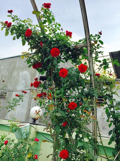 Khoảnh khắc hạnh phúc nhất của bà mẹ hai con là được đắm mình trong sắc màu rực rỡ của vườn hồng sau giờ dạy. Chị Hằng thích được cùng ông xã và các con đi dạo trong khu vườn, chụp vài tấm hình kỷ niệm và chia sẻ hạnh phúc nhỏ bé này tới mọi người.