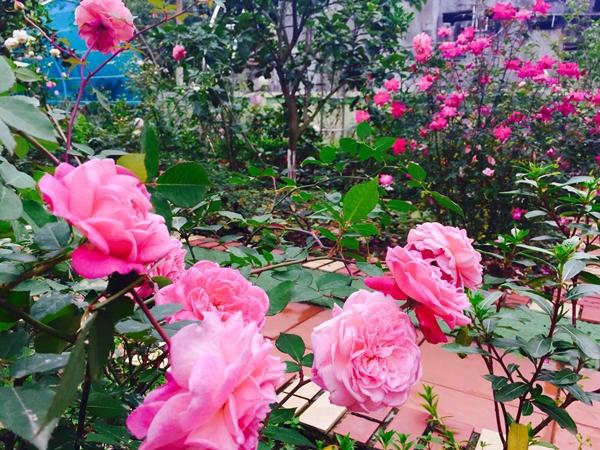 Cô giáo ở Thanh Hóa chia sẻ, niềm đam mê của chị được ông xã ủng hộ. Chồng chị Hằng thường giúp vợ chăm hoa, nhân giống hồng để gửi tặng những người cùng sở thích.