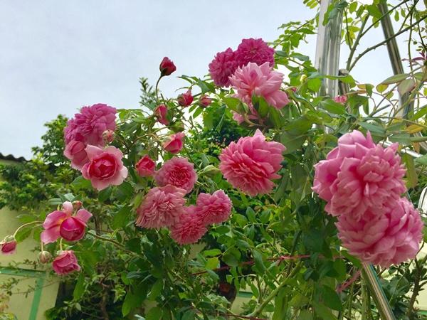 Với chị Hằng, hồng là giống hoa khó tính nhưng dễ bị thuần phục bởi những người có đam mê. Lúc bắt đầu trồng hoa, chị tích cực tham khảo thông tin trên mạng rồi kết hợp cùng kinh nghiệm nghề nông của bản thân để thực hiện.