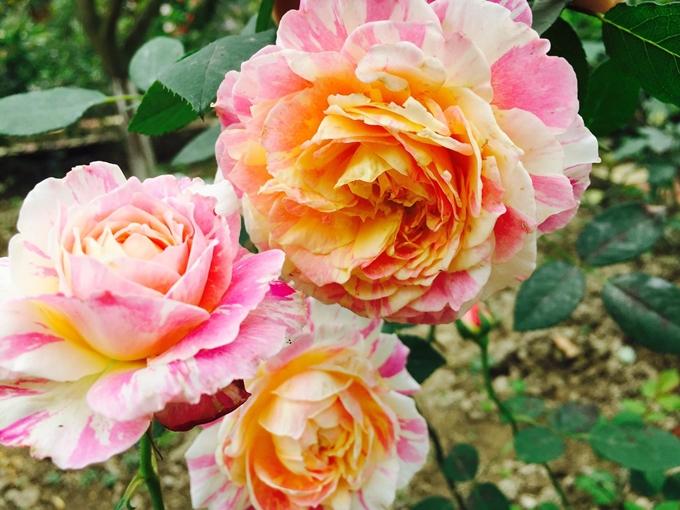 Khu vườn của chị Hằng hiện có 80 gốc hồng đủ loại. Chị chỉ mất một giờ vào buổi sáng và một giờ vào buổi tối để chăm bón. Công đoạn phòng bệnh, chữa bệnh cho hoa không tốn nhiều công sức của bà mẹ hai con vì khu vườn nhà chị nhiều ánh sáng, cây cối luôn khỏe mạnh.