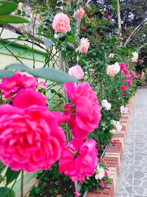 Những vòm inox được bố trí dọc lối có hồng leo, hồng bụi quấn quanh tạo cảnh quan đẹp mắt.