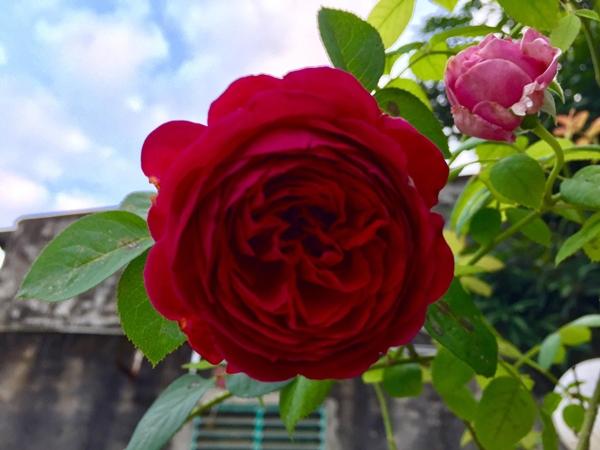 Vườn hồng nhà chị Hằng nở rộ suốt 4 mùa trong năm.