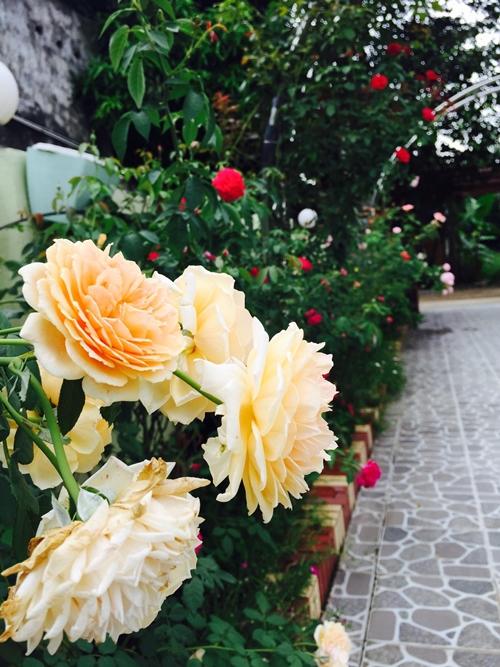 Mỗi lần mệt mỏi hay căng thẳng, chỉ cần ngồi cạnh những bông hồng, ngắm nhìn chúng, chụp lại những khoảnh khắc xuân sắc nhất của chúng, đủ khiến tôi cảm thấy yêu đời hơn, cuộc sống của tôi nhờ đó mà cân bằng hơn, cô giáo dạy Toán chia sẻ.