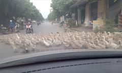 Ôtô xe máy dừng lại nhường đường cho đàn vịt