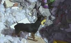 Chó không chịu rời nhà chủ sau tai nạn lở đất