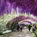 Video về con đường hoa rơi ở Nhật khiến du khách 'ôm tim'