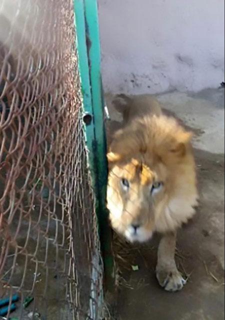 Con sư tử Kimba gầm gừ ở một góc chuồng sau khi tấn công người chăm sóc.