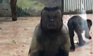 Con khỉ ở sở thú Trung Quốc có khuôn mặt như 'người đàn ông lo lắng'