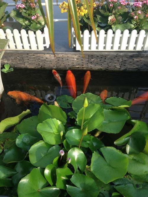 Những khóm sen, súng trong khu vườn của chị Lan thường bị sâu ăn lá hoặc muội phá. Chị dành thời gian quan sát cây mỗi ngày để phát hiện và diệt ngay sâu ăn lá. Những hôm trời âm u, mưa nhiều; hoa dễ bị muội bám vào thân hút nhựa. Bà mẹ Hà thành xử lý bằng cách dùng bình xịt kiến, gián; xịt trực tiếp lên thân cây sau đó dội rửa hoa bằng nước sạch.