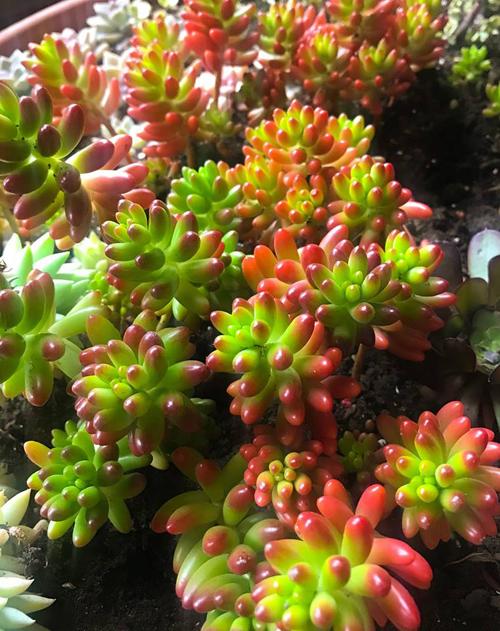 Làm vườn vừa là sở thích, vừa là cách để bà Yêu tìm thấy tình yêu cuộc sống.Vườn hoa sen đá của bà Yêu ở ngay trước sân nhà, có khoảng 10 loại, gồm:Thạch ngọc, bông hồng, hường, đỏ, chuỗi ngọc, đô la trắng, thạch bích, móng rồng, xương rồng...