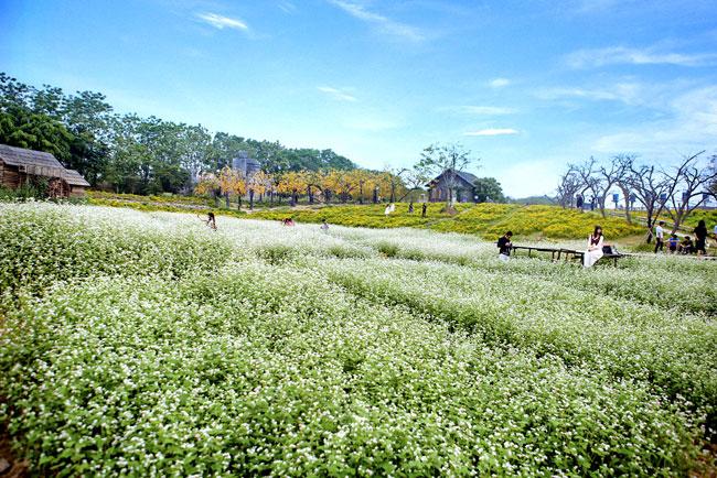 Mỗi ngày có hàng trăm du khách tới cánh đồng hoa tam giác mạch nở trái mùa đểchiêm ngưỡng điều kỳ lạ giữa lòng thủ đô này.