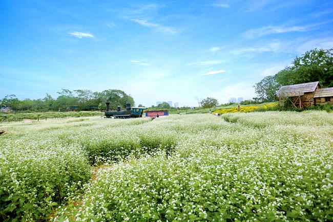 Nếu như trước đâyphải đến tậnHà Giang để ngắm tam giác mạch vào tháng 10, tháng 11 hàng năm thì nay nhiều bạn trẻ đã có thể chụp ảnh check-in với loài hoa đặc biệt này giữa lòng thủ đô trong tiết trời cuối mùa xuân.