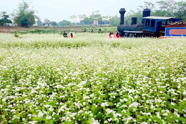 Vườn hoa tam giác mạch rộng hơn 5.000 m2 này nằm ở phố Thạch Cầu, quận Long Biên.