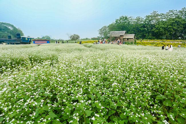 Cuối tháng 3, đầu tháng 4 đang là lúc hoa tam giác mạch tại đây khoe sắc rực rỡ nhất.