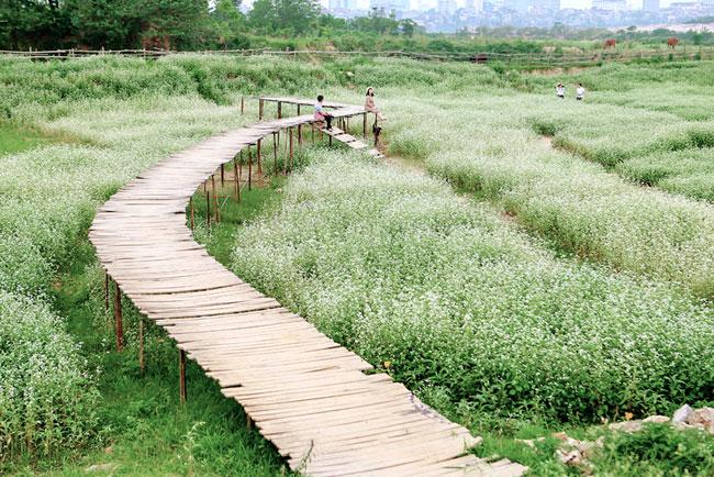 Một cây cầu gỗ uốn lượn nhỏ xinh được sắp đặt giữa cánh đồng hoa để dễ dàng cho du khách chụp ảnh sống ảo.