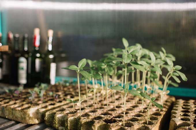 Chuyên gia mùi hương thích tự mình ươm hạt, trồng cây và chăm sóc khu vườn.