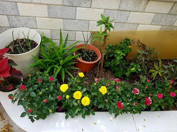 Khoảng sân trước nhà rộng 60 m2 được MC Thanh Thảo xây thêm những bồn đất nhỏ để trồng hoa. Vườn nhà cô hiện có hoa hồng,cẩm tú cầu, ngọc hân, cúc họa mi, huệ tây và mộtcây khế ngọt.