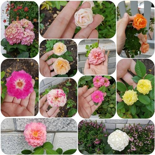 Khởi đầu bằng các loại hoa dễ tính, phù hợp với khí hậu miền Nam; sau vài tháng, khu vườn của Thanh Thảo được làm đầy bằng nhiều giống hoa hồng. Người chia sẻ kinh nghiệm trồng và chăm sóc hồng cho nữ MC là doanh nhân Dạ Thảo, bà xã diễn viên Quyền Linh.
