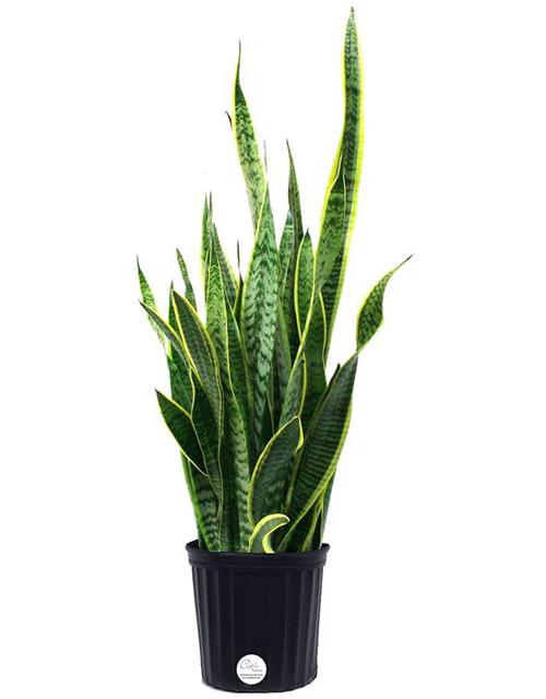 Cây lưỡi hổ. Đây là loại cây từng được trồng phổ tiến tại Mỹ. Chúng có khả năng loại bỏ nhiều chất gây ô nhiễm nhưbenzen, formaldehyde, trichloroethylene (TCE), xylene, vàtoluen trong không khí. Cây dễ trồng và bạn có thể đun lá cây lên làm thuốc giảm đau. Lưu ý, không được ăn lá.