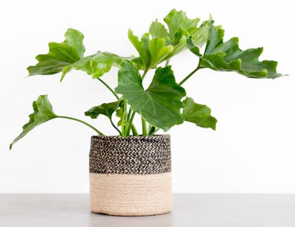 Cây ráy là loài cây dễ trồng. Chúng làm sạch không khí và loại bỏ những chất độc hại có trong keo hồ và đồ da.