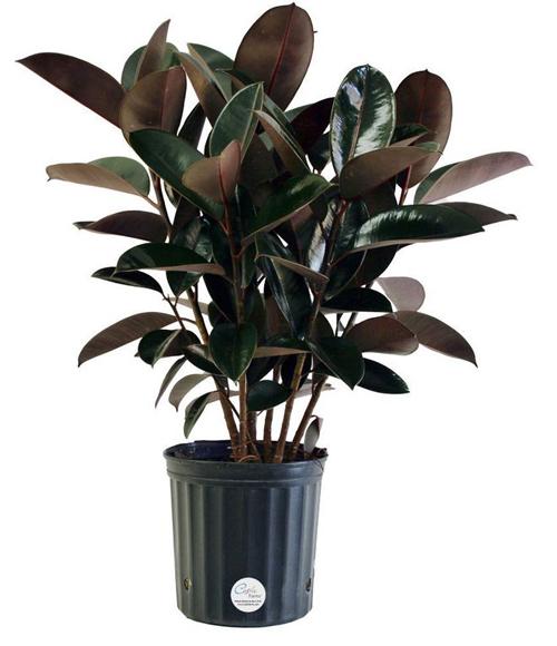 Cây sung cao su. Cây giúp loại thanh lọcnhững chất độc hạitrong không khí và loại bỏ động, thực vật ký sinh.