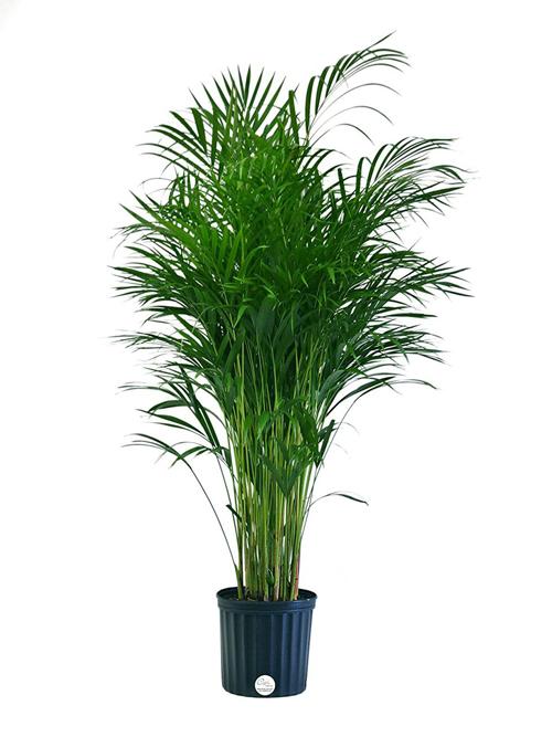 Cau cảnh là một trong những loài thực vật có khả năng lọc không khí mạnh nhất.