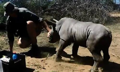Tê giác con tấn công bác sĩ thú y để bảo vệ mẹ